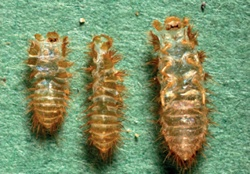 Carpet Beetles and Clothes Moths: What they are, what they