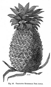 pineapple cultivation in britain