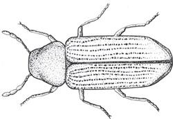 Image of adult anobium punctatum